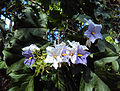 The Giant Star Potato Tree - Solanum Macranthum 02.jpg