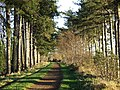 The Pines of Himley - geograph.org.uk - 633021.jpg