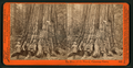 The Price of the Forest, Calaveras Grove, by Watkins, Carleton E., 1829-1916.png