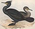 The birds of Europe (1837) (14564264307).jpg