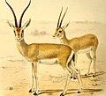The book of antelopes (1894) (14780026404).jpg