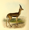 The book of antelopes (1894) Gazella arabica.png