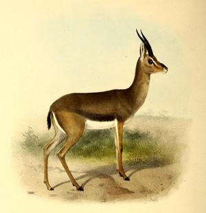 Arabian gazelle - Image: The book of antelopes (1894) Gazella arabica