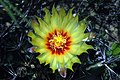 Thelocactus setispinus flower.jpg