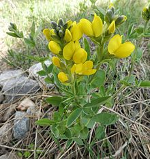 Thermopsis rhombifolia Colorado.jpg