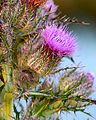 Thistle at Lake Woodruff - Flickr - Andrea Westmoreland.jpg