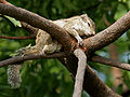 Three-Striped Palm Squirrel (Funambulus palmarum) W IMG 0300.jpg