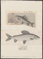 Thymallus vulgaris - 1700-1880 - Print - Iconographia Zoologica - Special Collections University of Amsterdam - UBA01 IZ14800073.tif