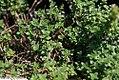 Thymus Doone Valley 2zz.jpg