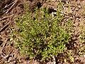 Thymus vulgaris 2020-05-22 9143.jpg