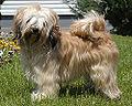 Tibeti terrier.jpg
