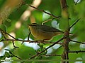 Tickell's Leaf Warbler (Phylloscopus affinis) (23270665332).jpg