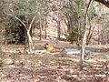 Tiger image37.jpg