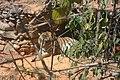 Tigre Zoo-Botânica de Belo Horizonte - MG.jpg