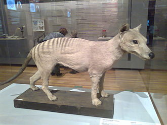 Thylacine - Stuffed specimen in Madrid