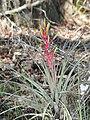 Tillandsia fasciculata - Everglades.jpg