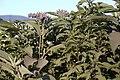 Tobacco Weed (6362394215).jpg