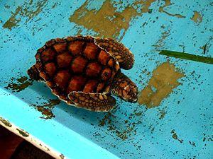 Los Roques archipelago - Green sea turtle