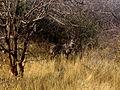Tragelaphus imberbis australis male in Tsavo West National Park (edited).jpg