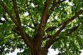 Traisen - Naturdenkmal LF-081 - Stieleiche (Quercus robur) - 3.jpg