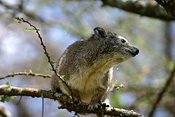meaning of hyrax