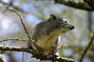 Southern tree hyrax species of mammal