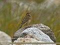 Tree Pipit (Anthus trivialis) (29668685294).jpg