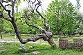 Tree Shigar fort.JPG