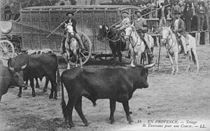Gardian - Gardians selecting bulls from a manade for use in the ''course camarguaise'', Camargue, France, early 20th century