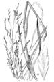 Tridens flavus (as Triodia flava, Triodia cuprea) HC-1900.png