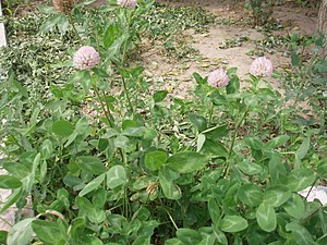 Variegation - Leaves of Red Clover (Trifolium pratense) have a typical v-shaped variegation.