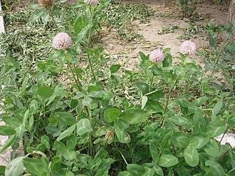 Variegation - Leaves of Red Clover (Trifolium pratense) have a typical v-shaped variegation.