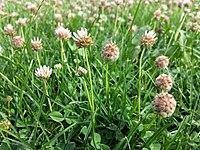 Trifolium fragiferum (subsp. fragiferum) sl18.jpg