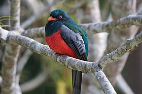 Trogon massena -Belize -male-8.jpg