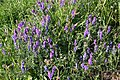Tufted Vetch (Vicia cracca) - geograph.org.uk - 195815.jpg
