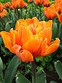 Tulip double cv. 10.JPG