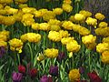 Tulip festival 2017 on Yelagin Island15.jpg