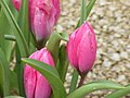 Tulipa pulchella0.jpg
