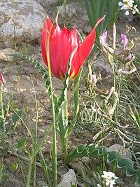 Tulipa systola1