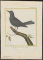 Turdus cyanus - 1700-1880 - Print - Iconographia Zoologica - Special Collections University of Amsterdam - UBA01 IZ16300307.tif