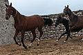 Turkmen Studfarm - Flickr - Kerri-Jo (15).jpg