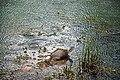 Turtle at Dulahazra.jpg