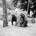 Twee gorillas voor Artis, Banja en Tembo tijdens hun kennismaking (3235960645).jpg
