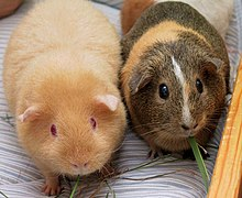 Two Adult Guinea Pigs (cropped).jpg
