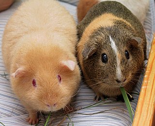 Guinea pig domesticated rodent species from South America