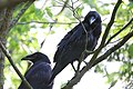 Two Raven Fledglings.jpg
