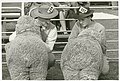 Two exhibitors eye each other's charges, Sheep Show, ca. 1945 - Jeff Carter, Walkabout photograph (3232171091).jpg