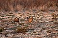 Two male Lesser Prairie Chickens, Yoakum County by Trisha Williams (24489870873).jpg