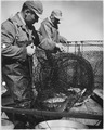Two men with load of netted fish - NARA - 283862.tif