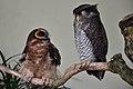 Two owls at Kuala Lumpur Bird Park-8a.jpg